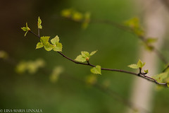 IMG_6409 (liisamaria.linnala) Tags: green canon finland leaf spring birch canoneos70d