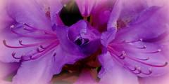 Paars/purper (truus1949) Tags: tuin bloemen