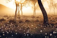 Enchanted moments. (20/50) (Stuart Stevenson) Tags: uk trees mist grass misty sunrise landscape photography scotland may hills mysterious bog rollinghills earlysummer morningdew heathland latespring clydevalley thanksforviewing canon5dmkii stillabitchilly stuartstevenson wwwzerogravitymeuk bogcotten warmlightgoldenlight