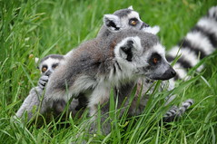 what, where ...... (littlestschnauzer) Tags: park uk family cute grass three woods nikon babies wildlife yorkshire small group young may tourist ring parent together lemur poi nervous curious lemurs madagascar primate tailed attraction youngsters doncaster 2015 d5000