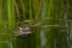 "Klockgroda / European fire-bellied toad ""singing"" for a female. (Jan Westerlund) Tags: green nature water animal skne european sweden outdoor natur amphibian frog toad frogs sverige groda firebellied grodor bombina klockgroda"