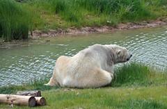 Victor the Polar Bear (littlestschnauzer) Tags: bear park uk white 3 male animals big wildlife bears yorkshire may large older tall polar 2015 metres