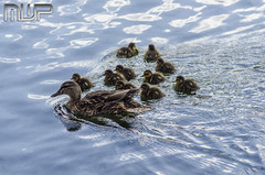 DSC_3102 (mikewarnerphotography) Tags: duck grove ducklings carshalton mwp