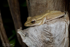 Polypedates leucomystax_MG_0840 copy (Kurt (OrionHerpAdventure.com)) Tags: amphibian frog amphibia tropicalfrogs polypedatesleucomystax fourlinedtreefrog frogsofmalaysia