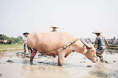 Mud Ploughing (Mirabelle K.) Tags: life travel people nature animal animals canon spring buffalo farm lifestyle wanderlust explore wilderness laos wander livelihood
