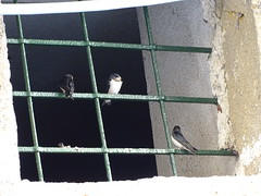 3 (RoBeRtO!!!) Tags: bird primavera window spring bars finestra swallow uccello rondine sbarre rdpic sonyhx400v
