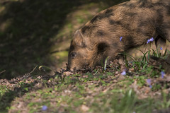 wildboar 8 (1 of 1) (cozyjunior) Tags: wild nature animal forest canon pig wildlife boar eos70d