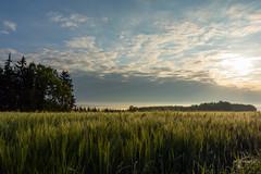 Sonnenaufgang im Nebel (Wilhelm v. Kallmnz) Tags: sonnenaufgang weizenfeld