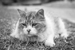 The Boss (judi may) Tags: monochrome grass grancanaria cat mono feline dof bokeh theboss canon7d monochromebokehthursday