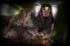 Common marmoset (frosol) Tags: nature animal canon eos monkey natur ape dyr ef100mm canoneos5dmarkiii 5dmkiii 5dmarkiii ef100mmf28lmacroisusm