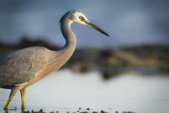 Heron (Timothy M Roberts) Tags: bird heron nikon sydney sigma australia maroubra