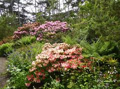 2016.05.21.016 PARIS - Parc Floral - Rhododendrons (alainmichot93) Tags: paris france flower fleur seine fleurs flora ledefrance rhododendron boisdevincennes parcfloral 2016 paris12mearrondissement