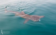 Basking Shark (Ben Porter Wildlife Photography) Tags: sea fish coast cornwall underwater baskingshark spring2016 akcruises