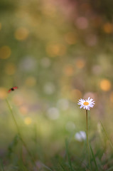 Daisy and flying ladybug (Lisette~Photographie) Tags: world wood travel flowers light wild sun blur flower color macro green nature floral colors field grass fauna backlight forest outside countryside flying petals spring flora focus soft mood peace blossom bokeh outdoor pastel magic country hill softness dream atmosphere sunny lightleaks vision micro daisy bloom ladybug dreamy serendipity delicate wonderland tones tone softlight elegance goodvibes lensflares wonderlust macroworld
