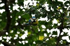 bird (ecordaphoto) Tags: bird eye nature alberi nikon digitale natura ali occhi albero ramo rami dx rumore becco cardellino 55300 d5100