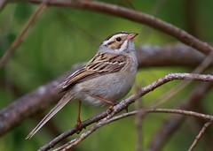 Clay-colored Sparrow (Spizella pallida) 0F3A5102 (Dale Scott.) Tags: albertacanada claycoloredsparrow elkislandnationalpark spizellapallida