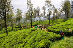 Sri Lankan Tea Feilds, (Lincoln Frank Allen) Tags: world travel train canon farmers tea farm national backpack 7d srilanka geographic