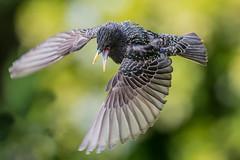 Flight (Neil Higginson (@NeilsPhotos)) Tags: bird nature canon wings wildlife flight attack starling birdsinflight incredible vulgaris 500mmf4 1dx 500mmf4ii
