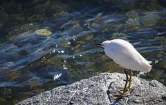 Waiting for Breakfast: Snowy Egret & Sparkling Water (Life_After_Death - Shannon Day) Tags: ocean life california travel blue light sea food white seascape green art history beach heron water canon landscape photography eos death bay coast monterey waiting day waves pacific outdoor snowy teal montereybay wave row tourist sparkle patient pebble shannon pacificocean pebblebeach after dslr canondslr canoneos egret cannery canneryrow snowyegret oceanic lifeafterdeath 50d oceanscape shannonday canoneos50d eosdslr canoneos50ddslr lifeafterdeathstudios lifeafterdeathphotography shannondayphotography shannondaylifeafterdeath lifeafterdeathstudiosartandphotography shannondayartandphotography whietheron