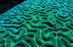 Gobies on a brain coral (kyshokada) Tags: canon underwater honduras scuba diving powershot caribbean roatan reef animalplanet corals braincoral goby neongoby