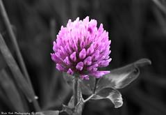 Clover (Rick & Bart) Tags: flower nature canon flora belgium hasselt bloom clover wildflower limburg selectivecolour klaver herkenrode rickbart thebestofday gnneniyisi rickvink eos70d