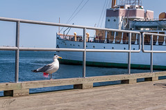 The dock's guardian / El guardián del muelle (Carlos Pizarro Photography) Tags: canada bird muelle dock outdoor seagull pajaro halifax gaviota