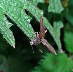 Right Click (Bricheno) Tags: macro insect scotland beetle escocia szkocja renfrew schottland scozia renfrewshire cosse  athoushaemorrhoidalis esccia   bricheno scoia