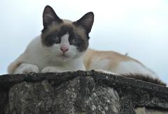 parce que t'as une bonne bouille (doubichlou) Tags: chat cat gato animal mammifere felin nature yonne bourgogne burgundy france cats