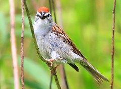 chipping sparrow at Waukon City Park IA 854A7196 (lreis_naturalist) Tags: park county city reis iowa larry sparrow chipping waukon allamakee
