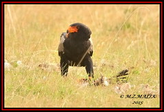 BATELEUR EAGLE (Terathopius ecaudatus).......MASAI MARA......SEPT 2015. (M Z Malik) Tags: africa nikon kenya wildlife ngc safari kws masaimara d3x exoticafricanbirds exoticafricanwildlife 200400mm14afs