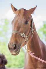 IMG_9144 (kellyburfoot) Tags: equine photography equinephotography horse horses american saddle breds americansaddlebreeds americansaddlebreds nationalshowhorses mare foal