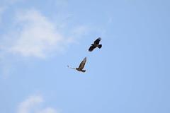Poiana Vs Cornacchia Grigia (Alessandro Giannini 1991) Tags: animali falchi poiana corvi cornacchia uccello uccelli volo invasione italia fauna mediterraneo