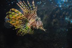 Lionfish (Pterois) (Dunstan Fernando) Tags: pterois lionfish fish dunstan dunstanphotography srilanka marine venomousmarinefish zebrafish firefish turkeyfish butterflycod aquariumfish acuarium nikon d7000 venomousfish nikkor ngc