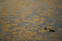 Rosybill Duck, at Koeladeo Ghana Bird Sanctuary, Bharatpur (ilovethirdplanet) Tags: india birds nationalpark pond wetlands algae rajasthan bharatpur ind