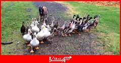Emma the dog herding ducks in the rain (ViralAIO) Tags: dog herdingducks