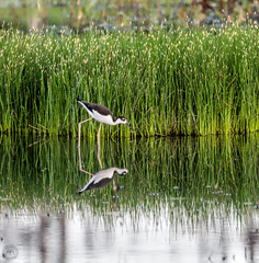 Black-necked Stilt (Mike Matney Photography) Tags: 2016 canon eos7d horseshoelake illinois july midwest sauget bird birds nature wildlife blackneckedstilt unitedstates us