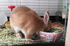 Ichigo san 235 ICHIGO san  (mensore) Tags: family pet brown cute rabbit bunny dwarf netherland ichigo   netherlanddwarf