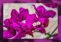 Pink Dream ... (scorpion (13)) Tags: summer sun plant flower color nature garden blossoms bougainvillea frame photoart kreative