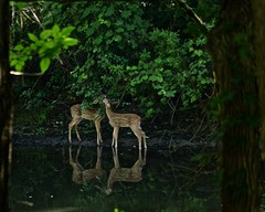 + (Katherine Chawner Davis) Tags: baby nature animal pond wildlife young deer fawn