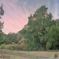 Old Oak at Twilight (James L. Snyder) Tags: quercus oak baccharispilularis chaparralbroom bushbaccharis coyotebrush coyotebush trees leaves foliage canopy branches forest deadgrass grass shrubs bushes brush valley unpaved trail preserve openspace park graceful elegant native oldgrowth gnarled massive towering tall ancient old rural country natural pastel colors colorful delicate painterly impressionistic cirrus clouds idyllic majestic magnificent noble stately dreamlike ravensburytrail roguevalleytrail roguevalley ranchosanantonio openspacepreserve santaclaravalley sanfranciscopeninsula bayarea losaltoshills santaclaracounty santacruzmountains california usa square nightfall dusk twilight sunset late evening november autumn fall 2015