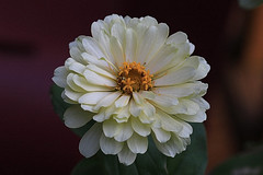 White Flower Macro (hbickel) Tags: white flower macro macrolens canont6i canon photoaday pad