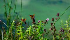 Butterflies in Summer (williams19031967) Tags: butterfly butterflies summer meadow lakes lake green pink flowers uk britain england wellingborough stanwick northamptonshire scene brown orange greenery sky dramatic cool effects nikon d7100 d7000 d7200 dslr semi pro all weathers raining wet damp