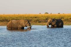 A Chobe gathering (Chris Parker2012) Tags: choberiver botswana chobenationalpark sunset elephant mammal river greeting africa