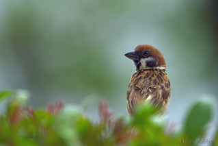 Eurasian tree sparrow photographed in Busuanga, Philippines
