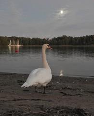 The swan and the moon (KaarinaT) Tags: moon swan sea herttoniemi helsinki finland water bird moonlit serene calm goodlight beautifullight evening september