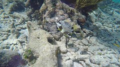 Sea Life (MyFWCmedia) Tags: fish coralreef underwater snorkel fwc myfwc myfwccom wildlife florida floridafishandwildlife conservation johnpennekamp keylargo flkeys floridakeys floridastateparks johnpennekampcoralreefstatepark park pennekamp lovefl