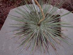 Yucca growing through concrete remnant (EllenJo) Tags: pentaxqs1 pentax august 2016 ellenjoroberts ellenjo yucca onthehill verdevalley clarkdale lowertown beneaththepool intheneighborhood august24 az arizona