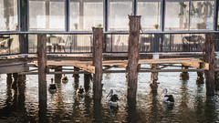 Pelicans under the Restaurant (Merrillie) Tags: nikon nature australia birds d5500 nswcentralcoast newsouthwales light nsw wildlife centralcoastnsw wharf bay photography water outdoors animals fauna centralcoast pelican outdoor
