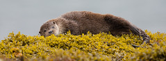 Otter (Andy Davis Photography) Tags: otter madrauisce shore rocks seaweed feeding mull canon lutralutra