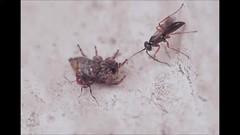 Spider wasp & Ant - 21 VIII 2016 (el.gritche) Tags: hymenoptera france 40 garden pompilidae agenioideus cinctellus agenioideuscinctellus salticidae predation behavior formicidae crematogaster scutellaris crematogasterscutellaris